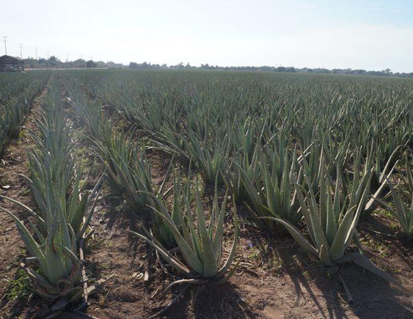 Productos de Aloe